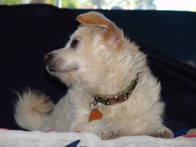 Mason a Norwich Terrier, Pomeranian mix