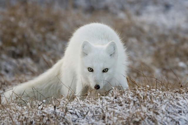 Arctic Fox: from Cool Animals of Alaska