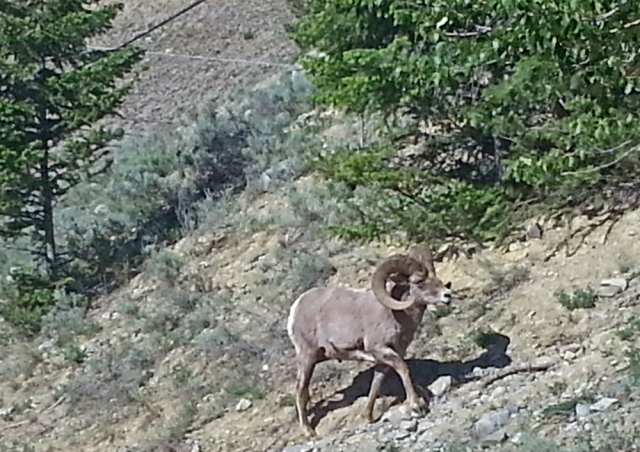 As I was leaving my camping sport I saw the popular Big Horn Sheep.