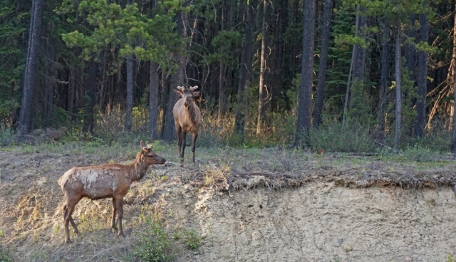 Spotted These Guys near Jasper