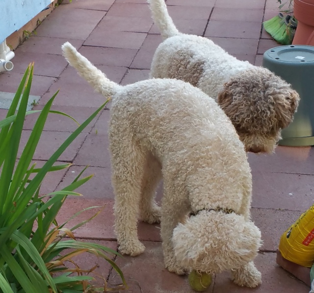 Flying Curls Jackson and Jeana, Lagotto Romagnolo siblings.