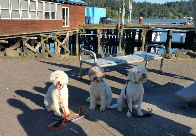Florence, OR, history in the making, 3 Lagotto Romagnolo grace downtown with their approvals.