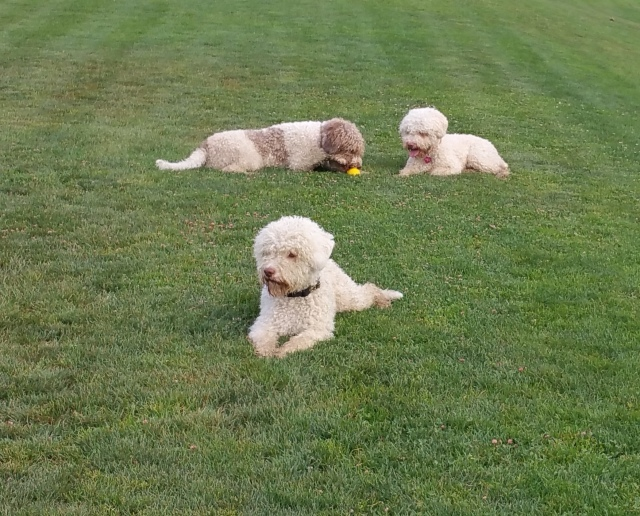 All 3 Lagotti. Waiting until I'm ready to go. This is what they usually do when off leash and I'm not moving.